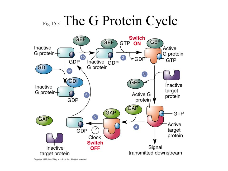 GTP is very small and can diffuse rapidly throughout the cell Diffusion-Mediated Random Walk of Signaling Proteins Schematic representation of a 4 s long random walk of (left) a cytosolic protein, (middle) a membrane-bound protein, and (right) a receptor.