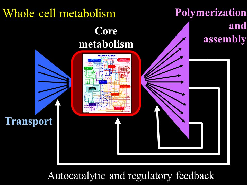 Transport Polymerization and assembly Core metabolism Autocatalytic and regulatory feedback Whole cell metabolism