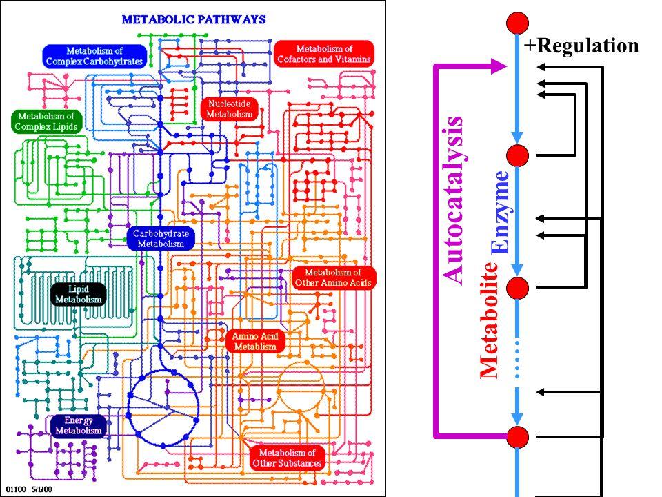 Metabolite Enzyme +Regulation Autocatalysis