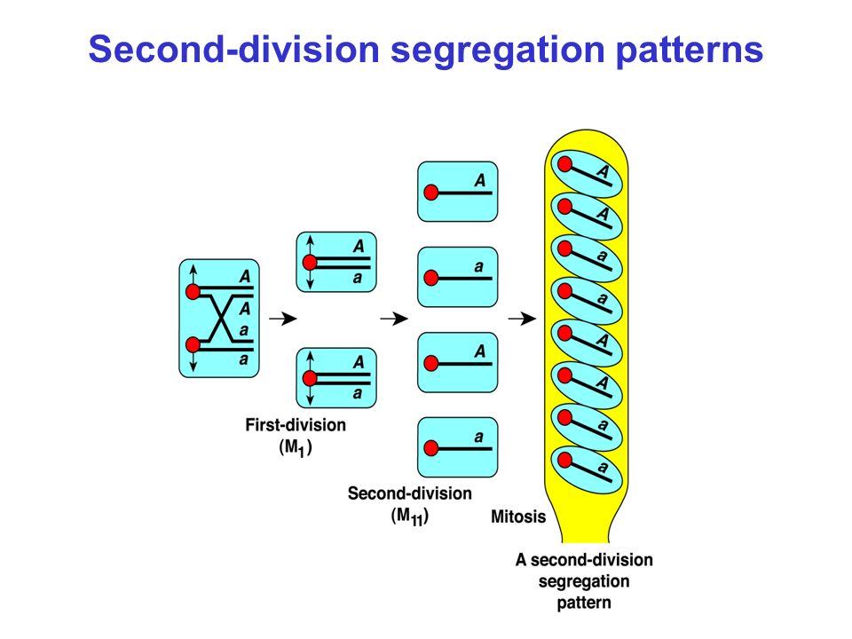 Second-division segregation patterns