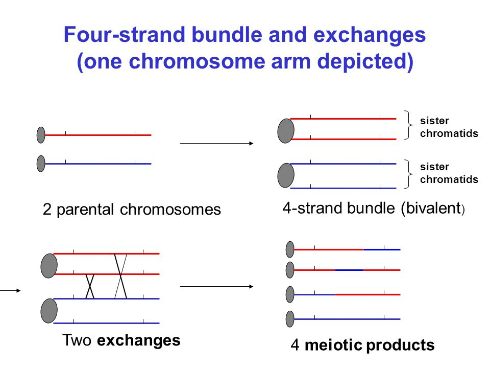 Chance aspects of meiosis Number of exchanges along the 4-strand bundle Positions of the exchanges Strands involved in the exchanges Spindle-centromere attachment at the 1st meiotic division Spindle-centromere attachment at the 2nd meiotic division Sampling of meiotic products Deviations from randomness called interference.