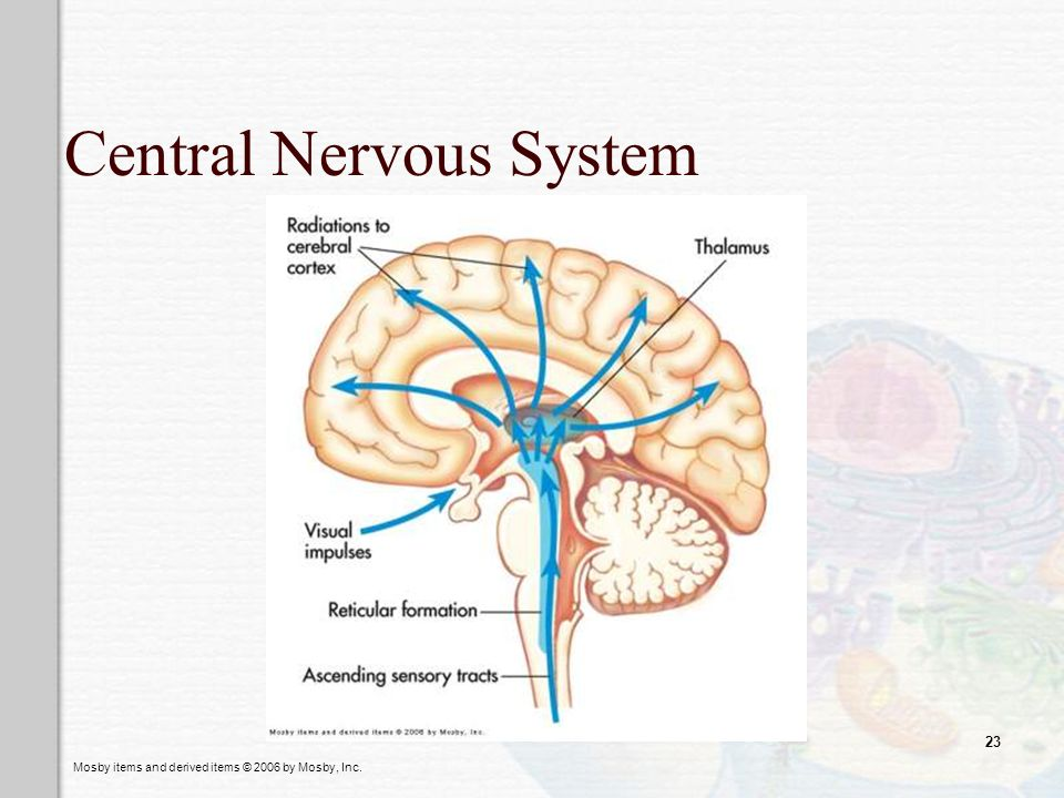 Mosby items and derived items © 2006 by Mosby, Inc. 23 Central Nervous System
