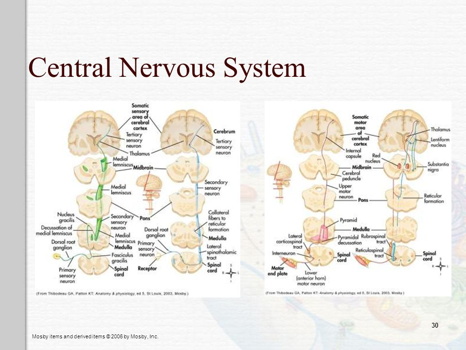 Mosby items and derived items © 2006 by Mosby, Inc. 30 Central Nervous System