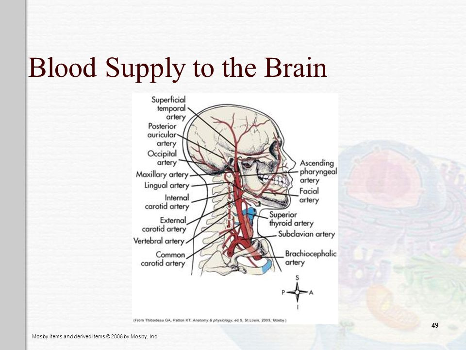 Mosby items and derived items © 2006 by Mosby, Inc. 49 Blood Supply to the Brain