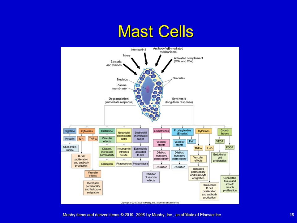 Mosby items and derived items © 2010, 2006 by Mosby, Inc., an affiliate of Elsevier Inc. 16 Mast Cells