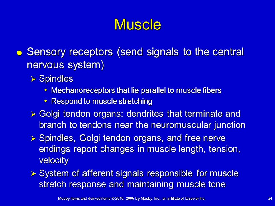 Mosby items and derived items © 2010, 2006 by Mosby, Inc., an affiliate of Elsevier Inc. 34Muscle Sensory receptors (send signals to the central nervo