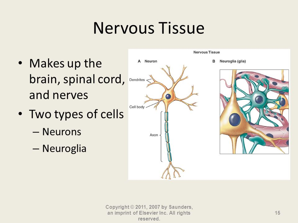 Nervous Tissue Makes up the brain, spinal cord, and nerves Two types of cells – Neurons – Neuroglia Copyright © 2011, 2007 by Saunders, an imprint of Elsevier Inc.