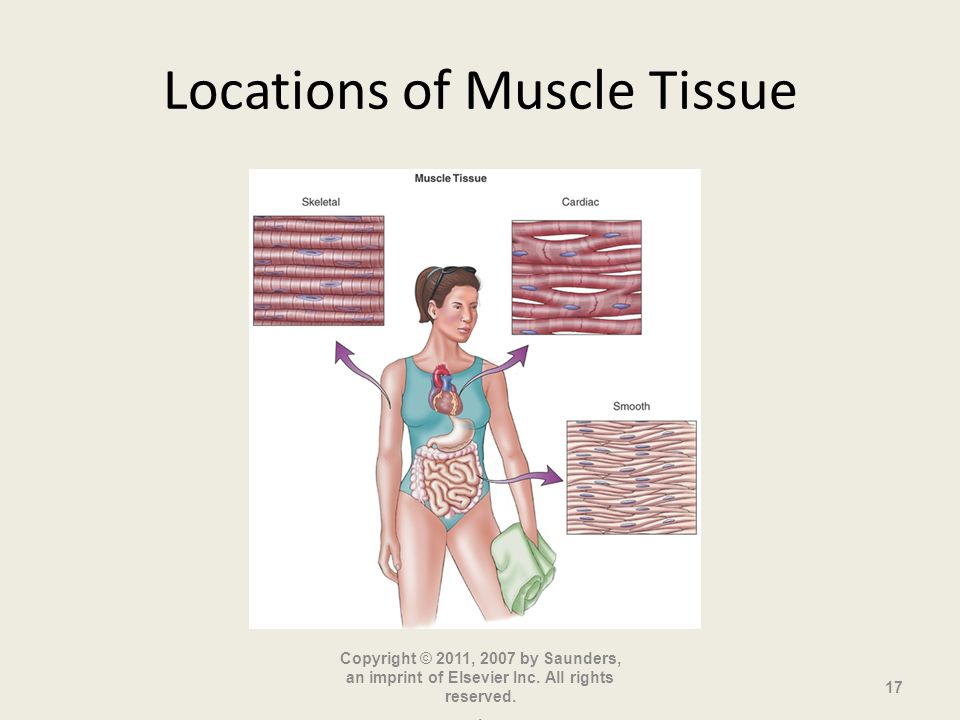 Locations of Muscle Tissue Copyright © 2011, 2007 by Saunders, an imprint of Elsevier Inc.