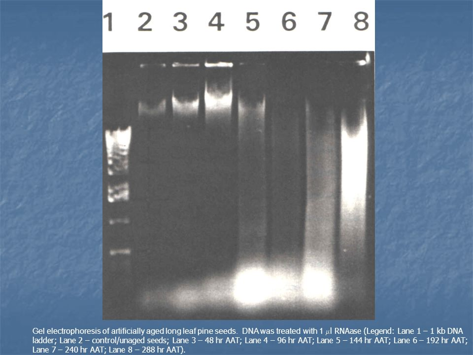 Gel electrophoresis of artificially aged long leaf pine seeds.
