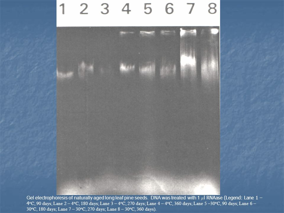 Gel electrophoresis of naturally aged long leaf pine seeds.