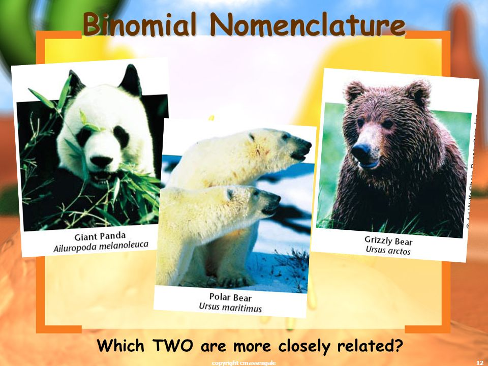 12 Binomial Nomenclature Which TWO are more closely related? copyright cmassengale