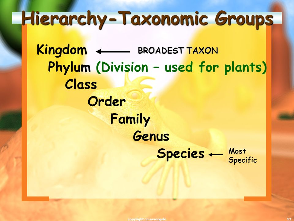 13 Hierarchy-Taxonomic Groups Kingdom Phylum (Division – used for plants) Class Order Family Genus Species BROADEST TAXON Most Specific copyright cmassengale
