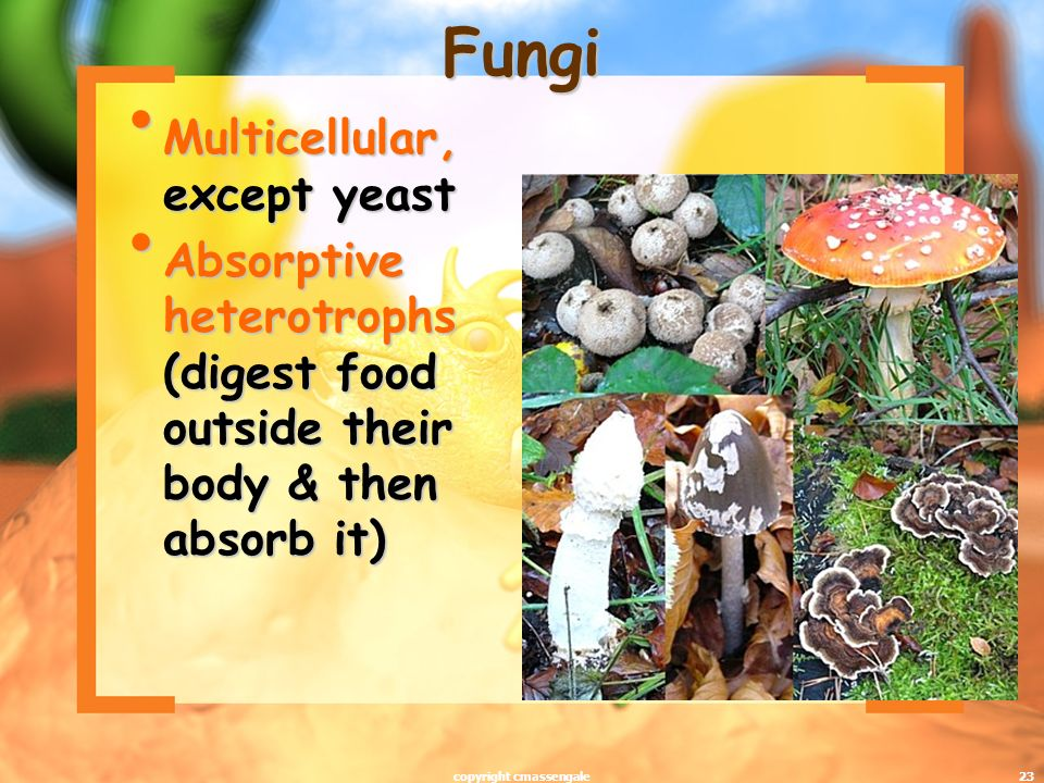 23 Fungi Multicellular, except yeast Multicellular, except yeast Absorptive heterotrophs (digest food outside their body & then absorb it) Absorptive heterotrophs (digest food outside their body & then absorb it) copyright cmassengale