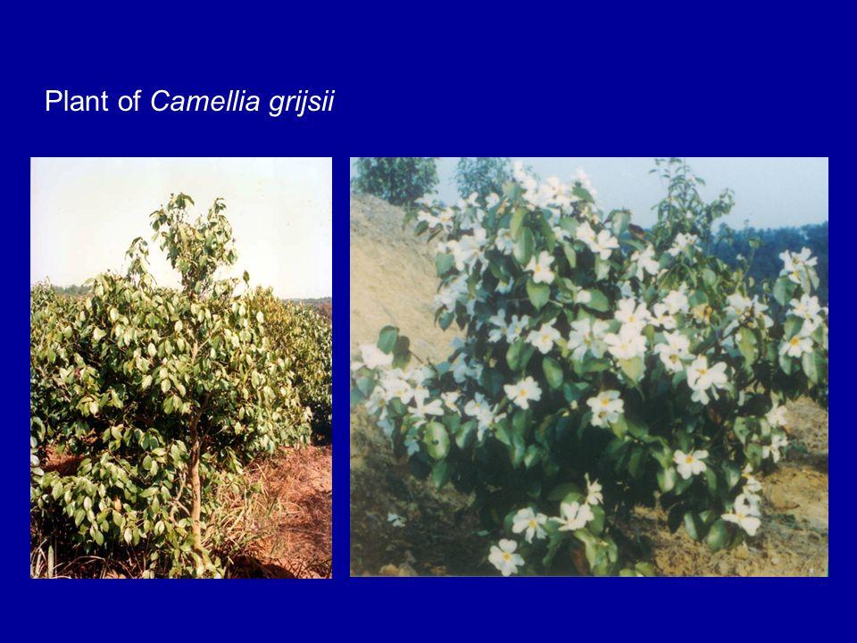 Plant of Camellia grijsii