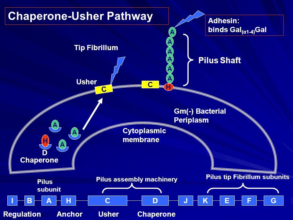AHCDJKEFG Pilus assembly machinery UsherChaperone Pilus tip Fibrillum subunits BI Anchor Gm(-) Bacterial Periplasm H A D A A H A A A A A A C C Pilus s