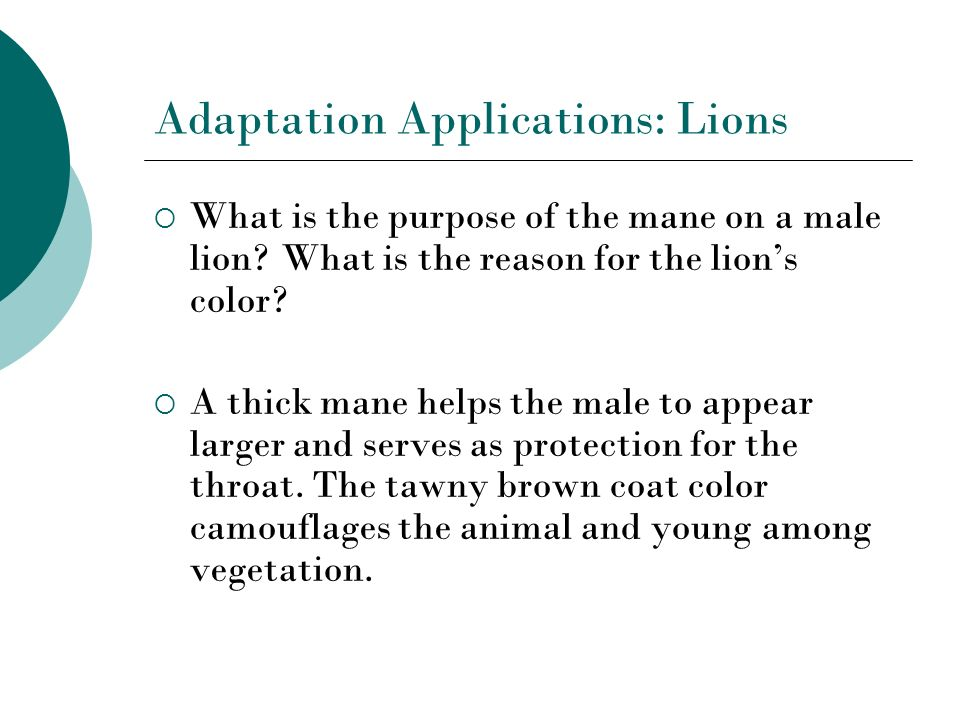 Adaptation Applications: Lions What is the purpose of the mane on a male lion? What is the reason for the lions color? A thick mane helps the male to