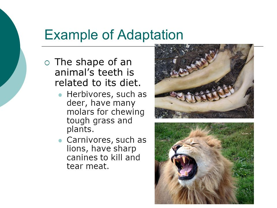 Example of Adaptation The shape of an animals teeth is related to its diet. Herbivores, such as deer, have many molars for chewing tough grass and pla