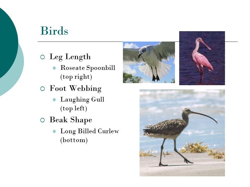 Birds Leg Length Roseate Spoonbill (top right) Foot Webbing Laughing Gull (top left) Beak Shape Long Billed Curlew (bottom)