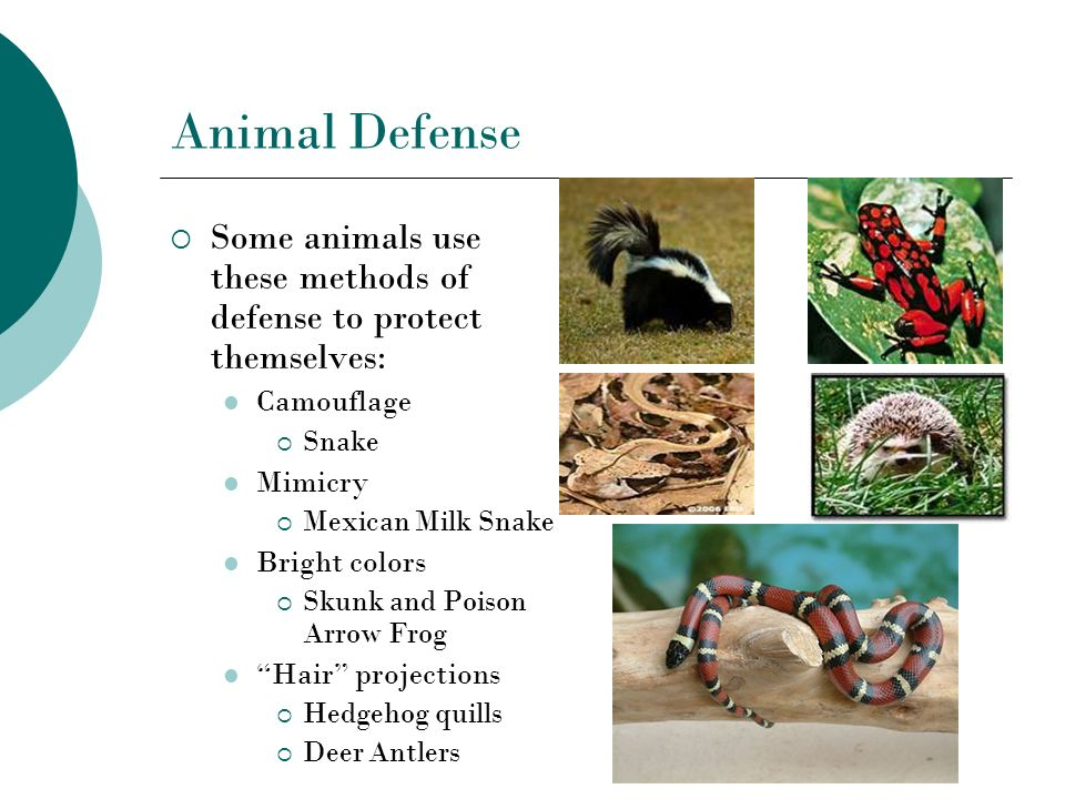 Animal Defense Some animals use these methods of defense to protect themselves: Camouflage Snake Mimicry Mexican Milk Snake Bright colors Skunk and Po