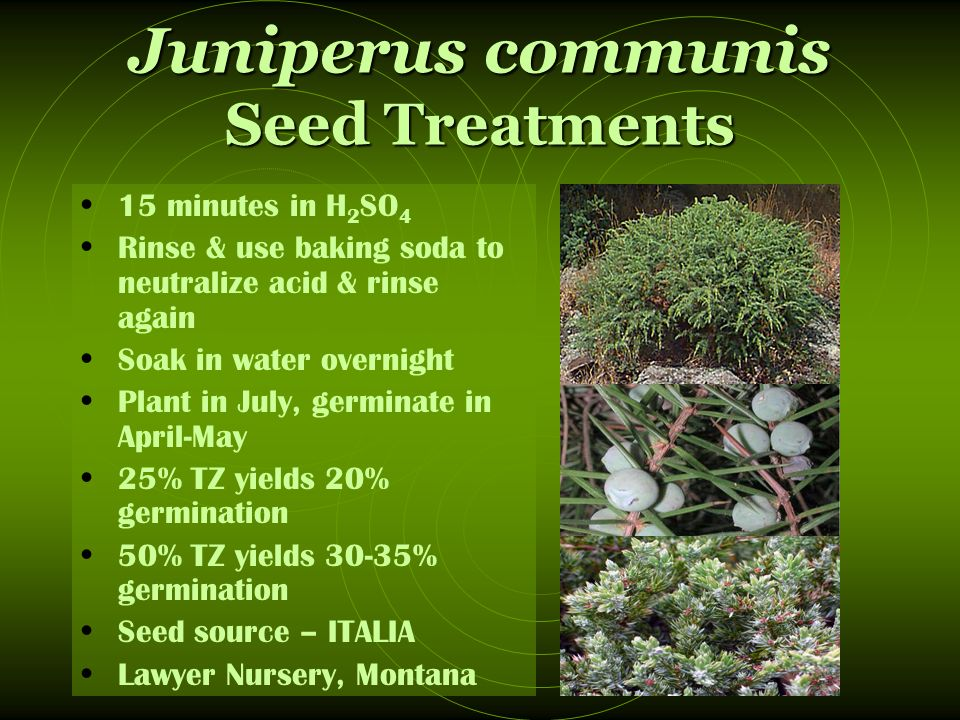 Juniperus communis Seed Treatments 15 minutes in H 2 SO 4 Rinse & use baking soda to neutralize acid & rinse again Soak in water overnight Plant in July, germinate in April-May 25% TZ yields 20% germination 50% TZ yields 30-35% germination Seed source – ITALIA Lawyer Nursery, Montana