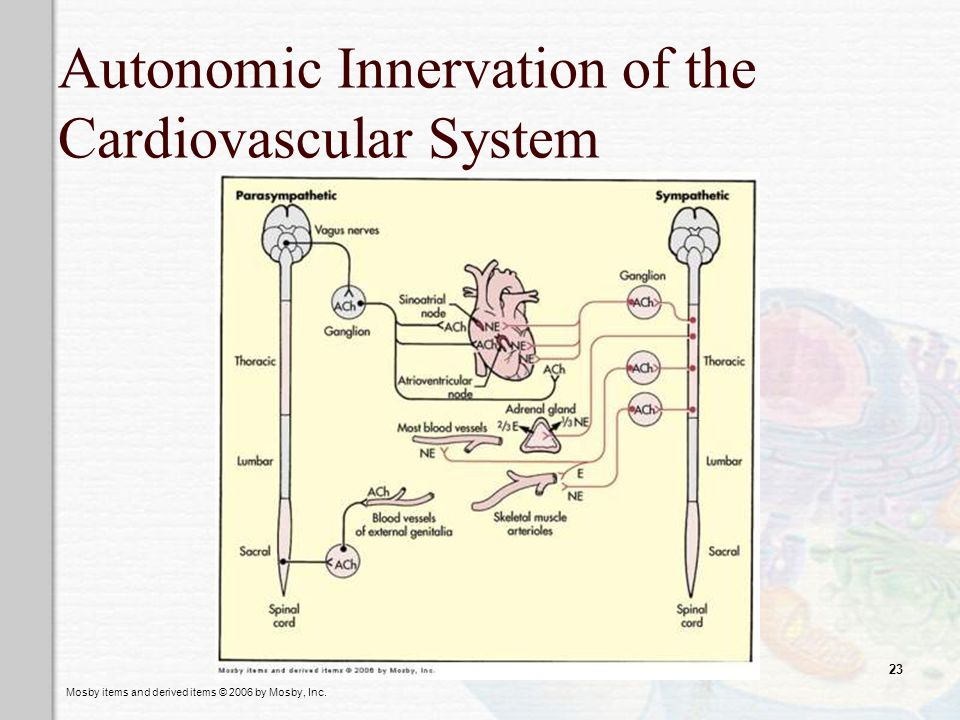 Mosby items and derived items © 2006 by Mosby, Inc. 23 Autonomic Innervation of the Cardiovascular System
