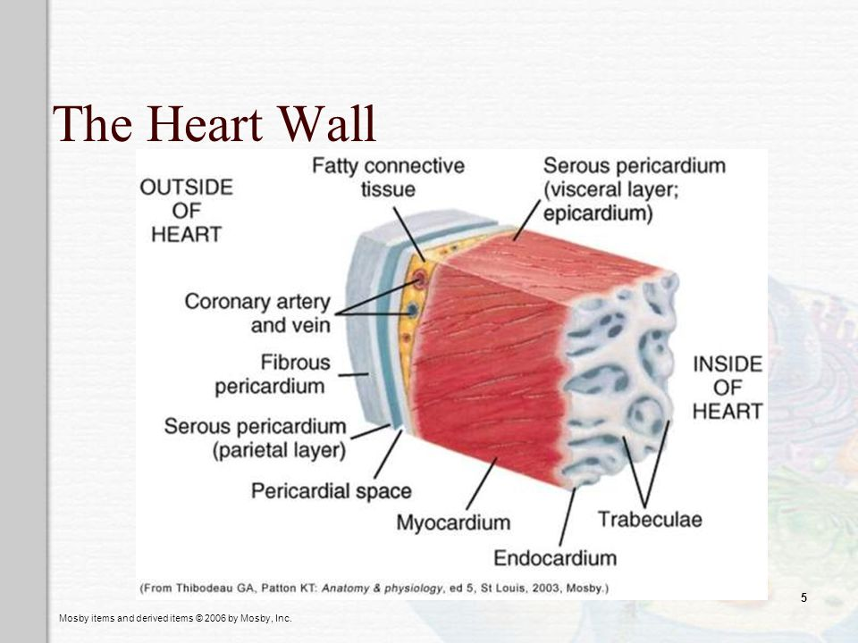 Mosby items and derived items © 2006 by Mosby, Inc. 5 The Heart Wall