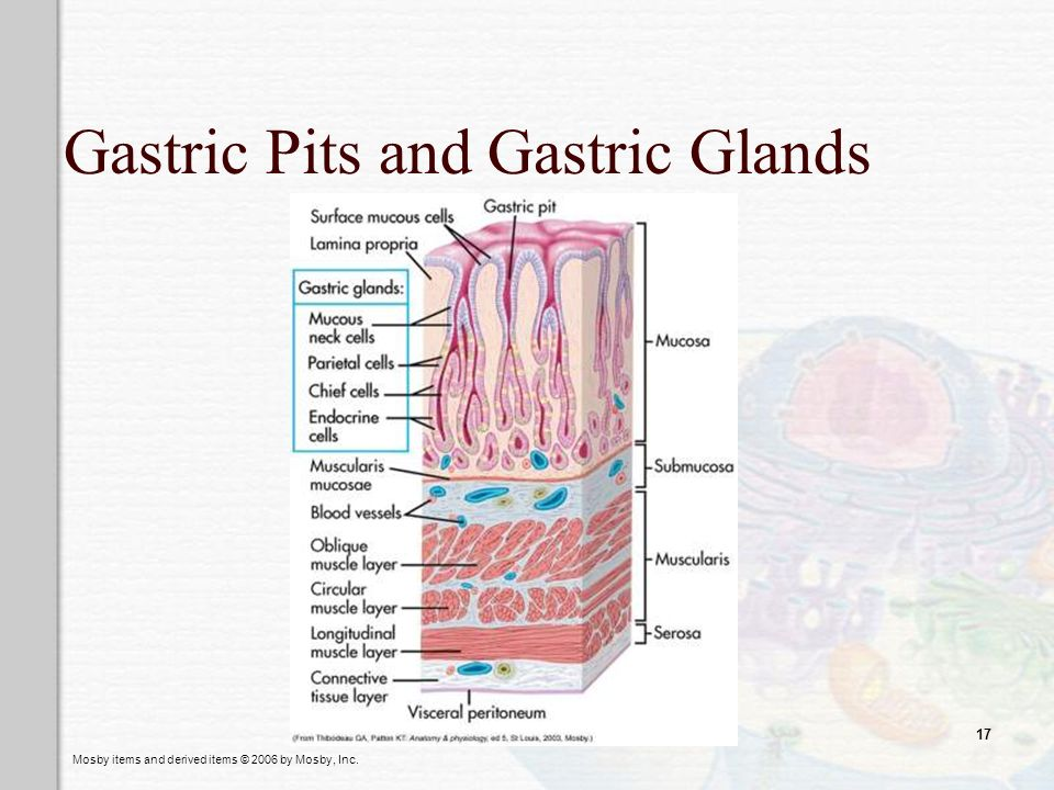 Mosby items and derived items © 2006 by Mosby, Inc. 17 Gastric Pits and Gastric Glands