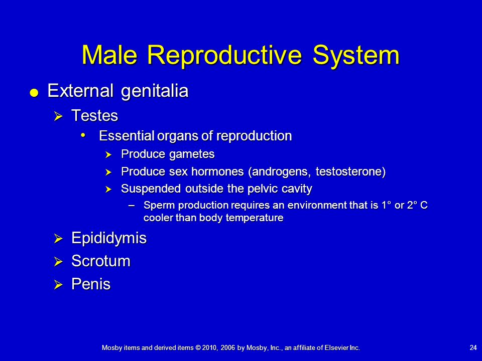 Mosby items and derived items © 2010, 2006 by Mosby, Inc., an affiliate of Elsevier Inc. 24 External genitalia External genitalia Testes Testes Essent