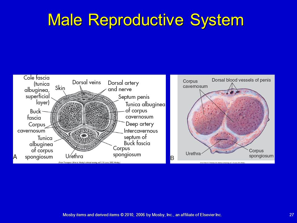 Mosby items and derived items © 2010, 2006 by Mosby, Inc., an affiliate of Elsevier Inc. 27 Male Reproductive System