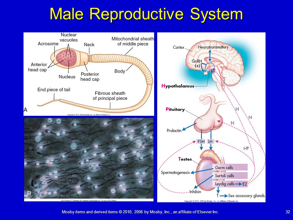 Mosby items and derived items © 2010, 2006 by Mosby, Inc., an affiliate of Elsevier Inc. 32 Male Reproductive System