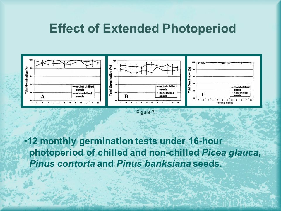 Effect of Extended Photoperiod Figure 7 12 monthly germination tests under 16-hour photoperiod of chilled and non-chilled Picea glauca, Pinus contorta and Pinus banksiana seeds.