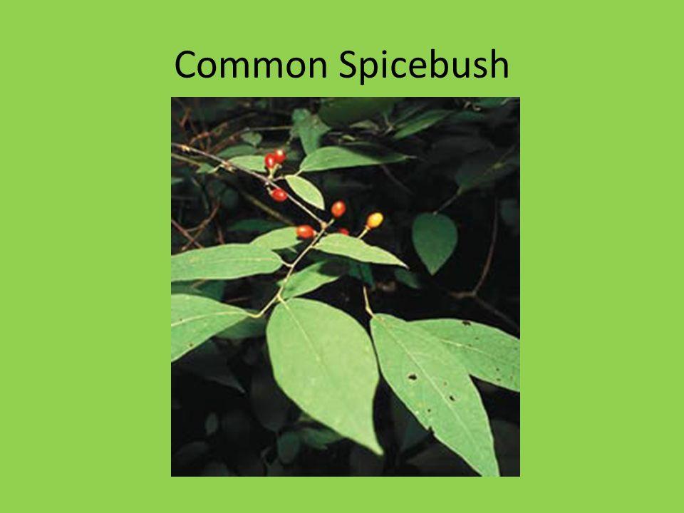 Common Spicebush