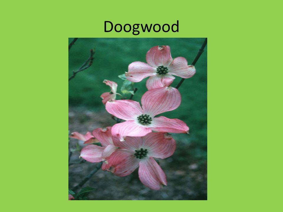 Doogwood