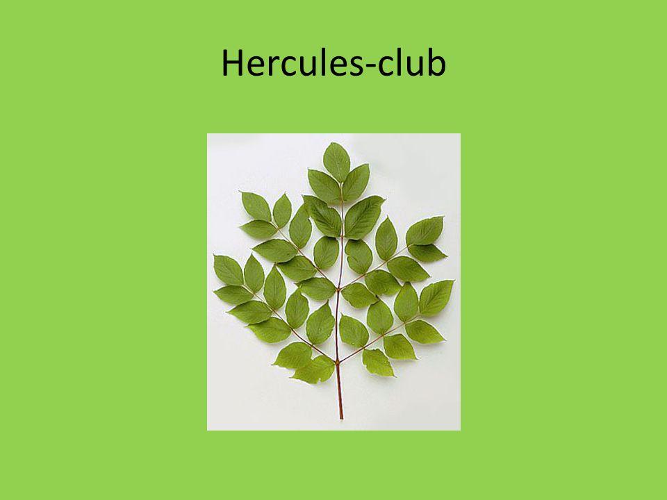 Hercules-club