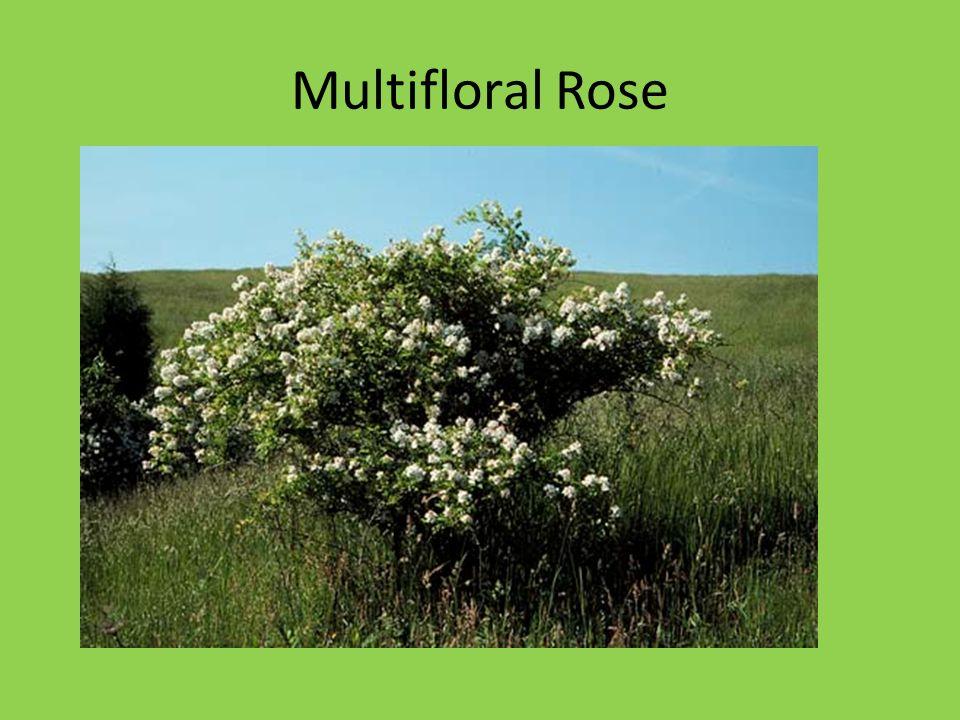 Multifloral Rose