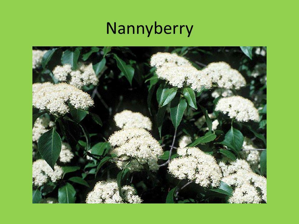 Nannyberry