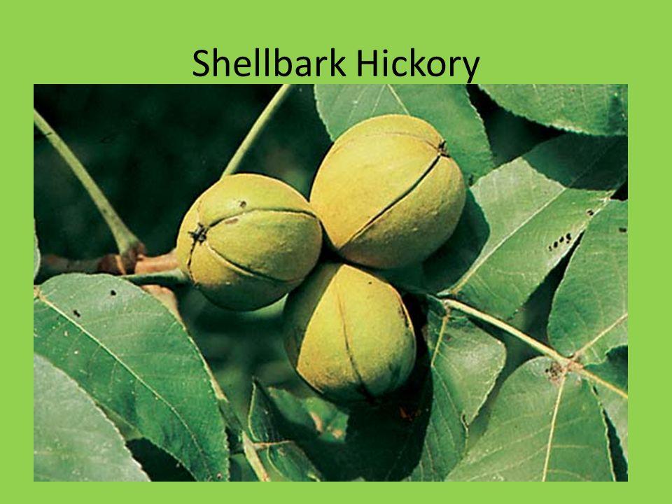 Shellbark Hickory