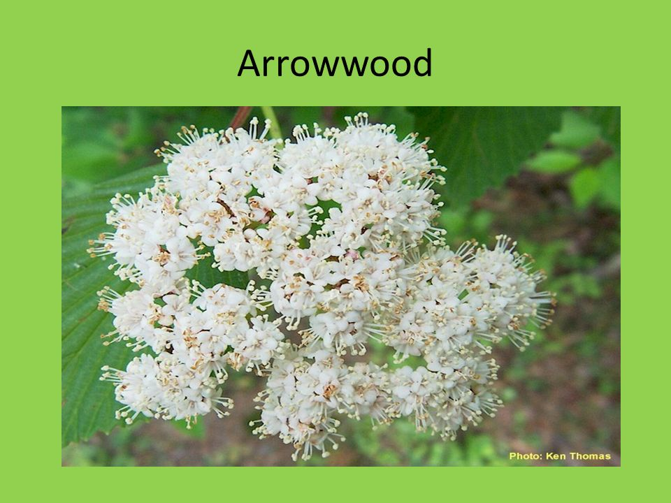 Arrowwood