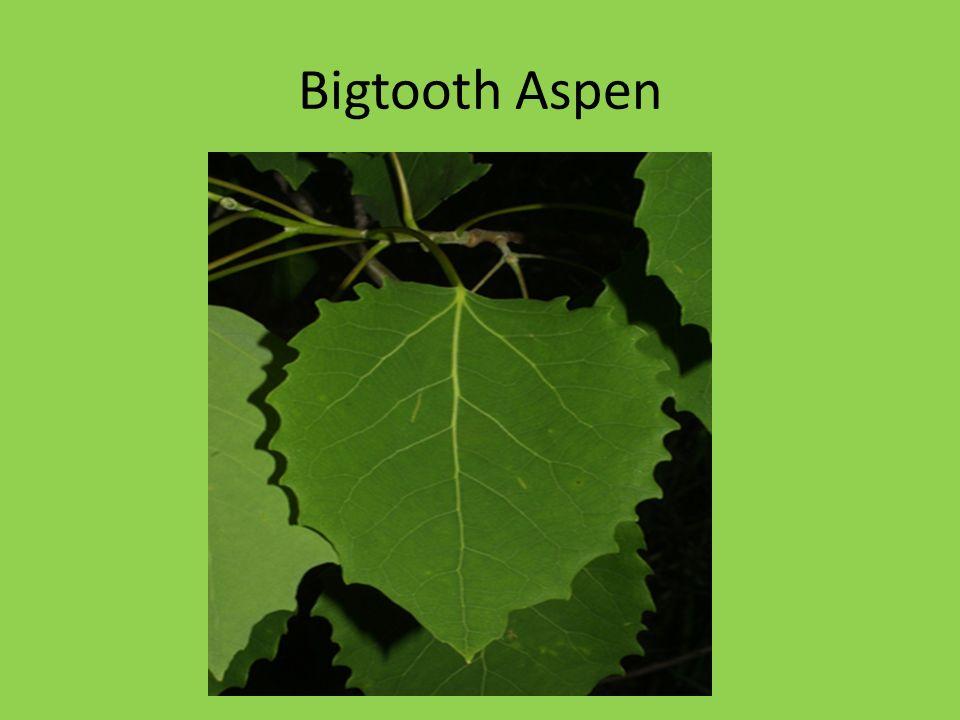 Bigtooth Aspen