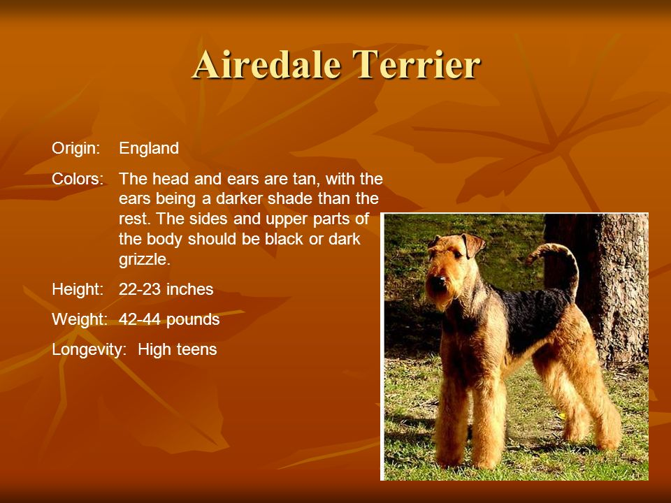 Airedale Terrier Origin:England Colors:The head and ears are tan, with the ears being a darker shade than the rest. The sides and upper parts of the b