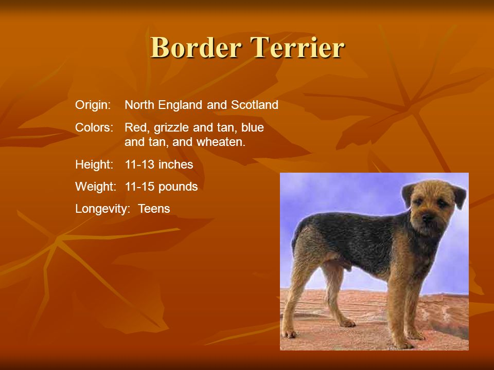 Border Terrier Origin:North England and Scotland Colors:Red, grizzle and tan, blue and tan, and wheaten. Height:11-13 inches Weight:11-15 pounds Longe