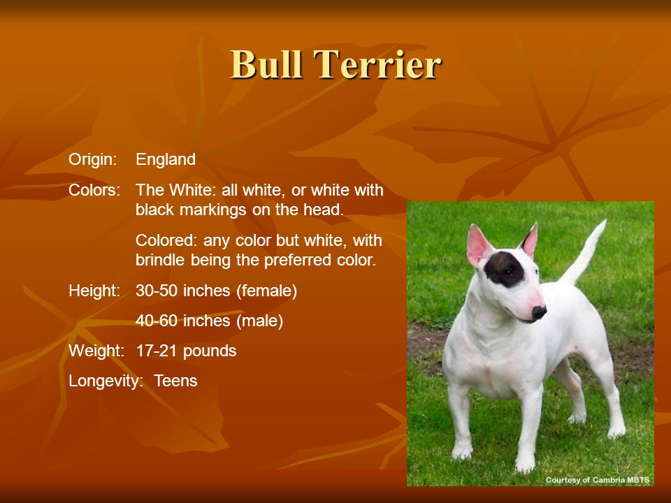 Bull Terrier Origin:England Colors:The White: all white, or white with black markings on the head. Colored: any color but white, with brindle being th