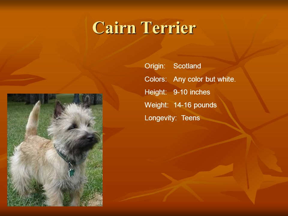 Cairn Terrier Origin:Scotland Colors:Any color but white. Height:9-10 inches Weight:14-16 pounds Longevity: Teens