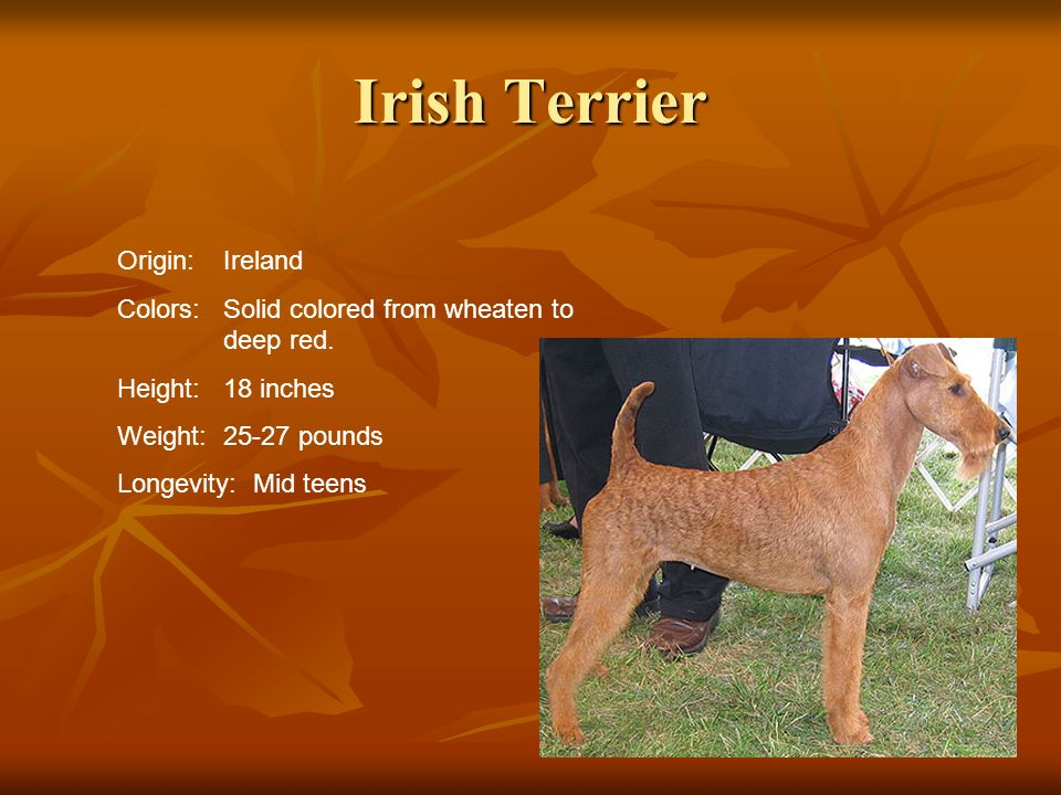 Irish Terrier Origin:Ireland Colors:Solid colored from wheaten to deep red. Height:18 inches Weight:25-27 pounds Longevity: Mid teens