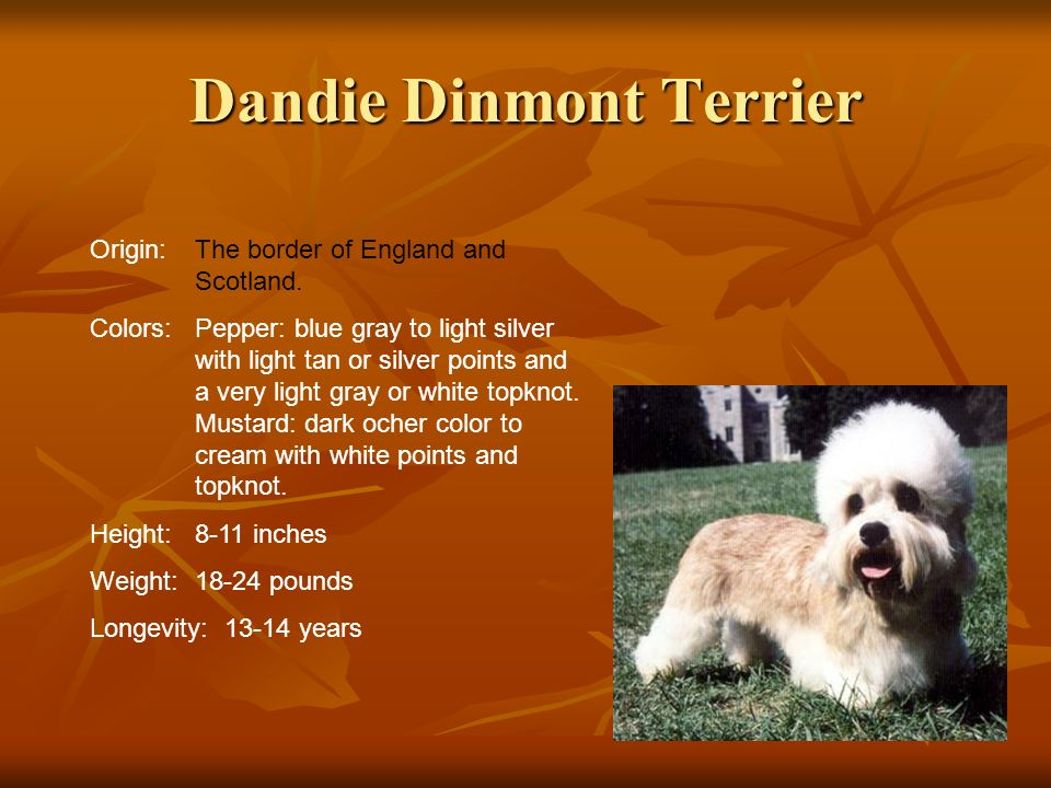 Dandie Dinmont Terrier Origin:The border of England and Scotland. Colors:Pepper: blue gray to light silver with light tan or silver points and a very