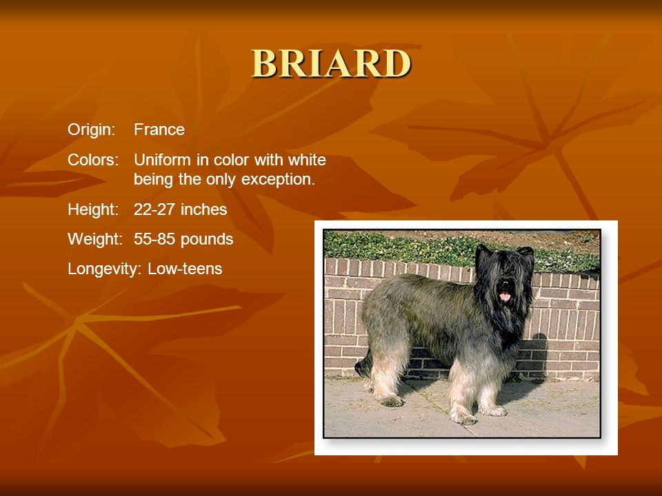 BRIARD Origin:France Colors:Uniform in color with white being the only exception. Height:22-27 inches Weight:55-85 pounds Longevity: Low-teens