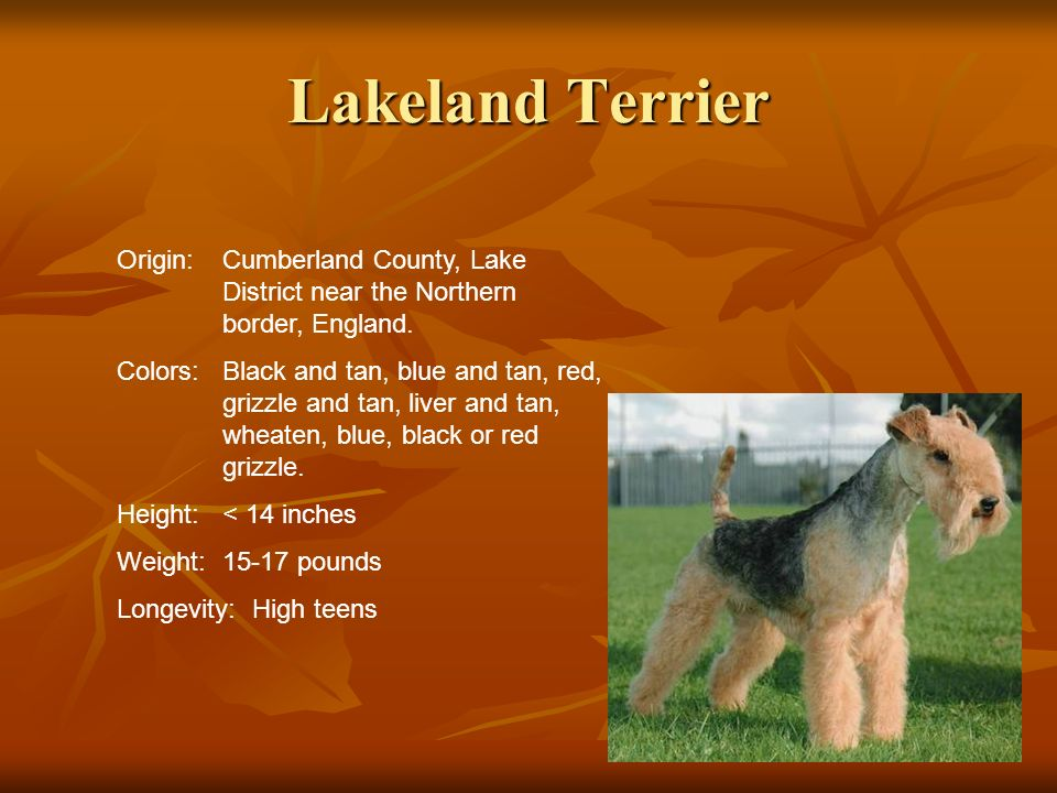 Lakeland Terrier Origin:Cumberland County, Lake District near the Northern border, England. Colors:Black and tan, blue and tan, red, grizzle and tan,