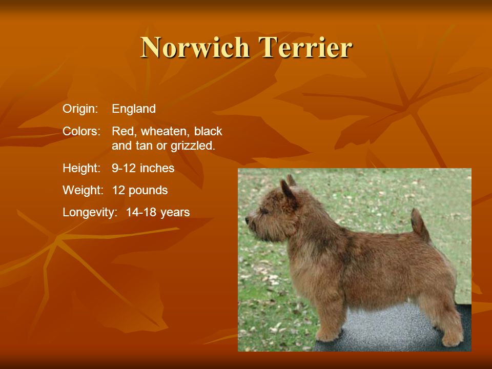 Norwich Terrier Origin:England Colors:Red, wheaten, black and tan or grizzled. Height:9-12 inches Weight:12 pounds Longevity: 14-18 years