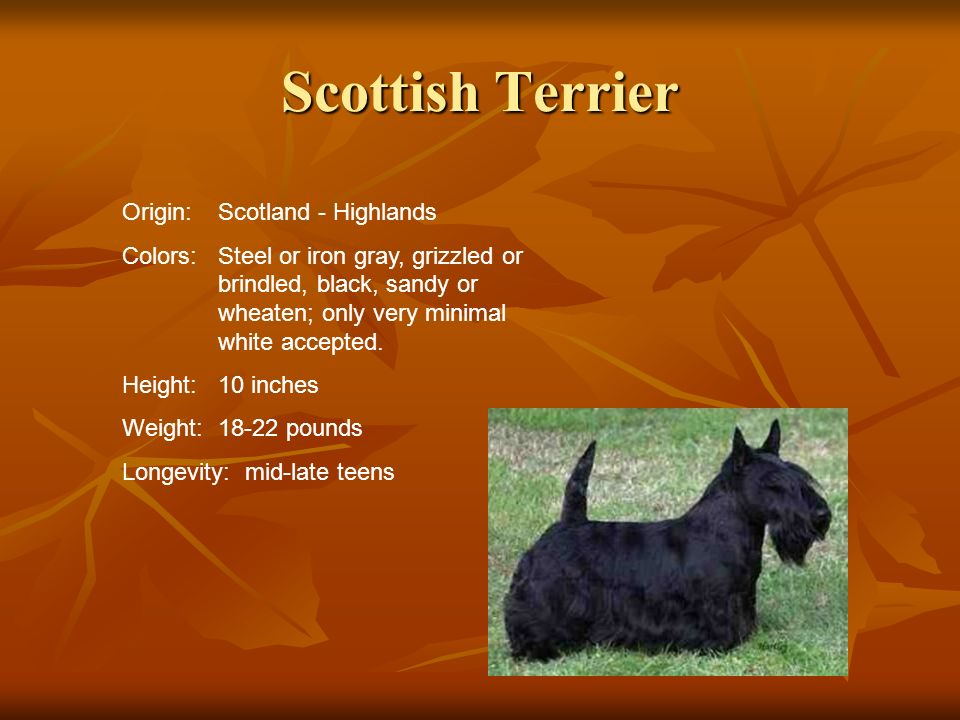 Scottish Terrier Origin:Scotland - Highlands Colors:Steel or iron gray, grizzled or brindled, black, sandy or wheaten; only very minimal white accepte