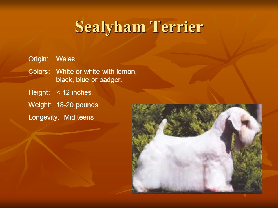 Sealyham Terrier Origin:Wales Colors:White or white with lemon, black, blue or badger. Height:< 12 inches Weight:18-20 pounds Longevity: Mid teens